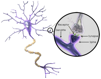 Neuron Synapse.png