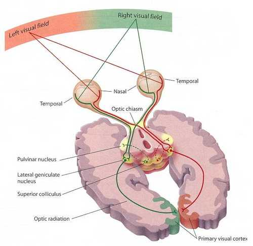 Theory of why there is crossover in the mammalian brain musings on decussation ccuart Images